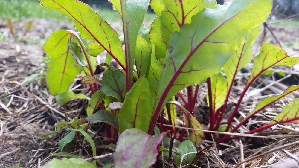 Baby Beet Greens