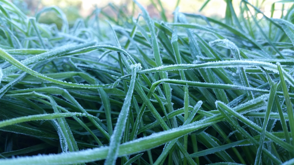 frost-on-ryegrass-2