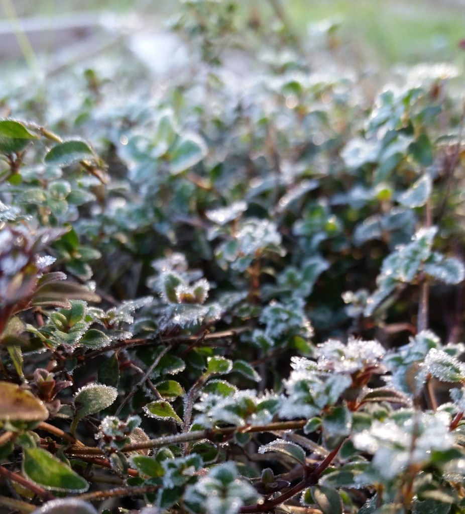 frost-on-thyme-plant