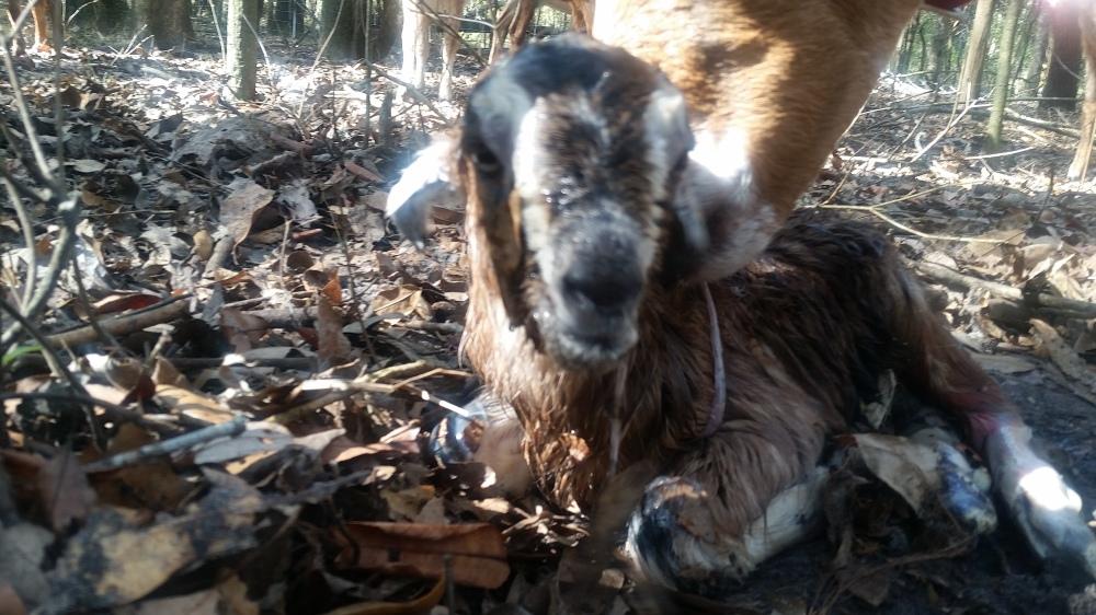 Newborn goat