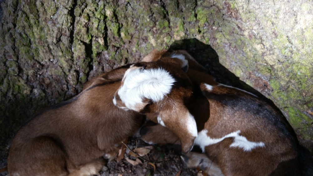 Newborn goat kids