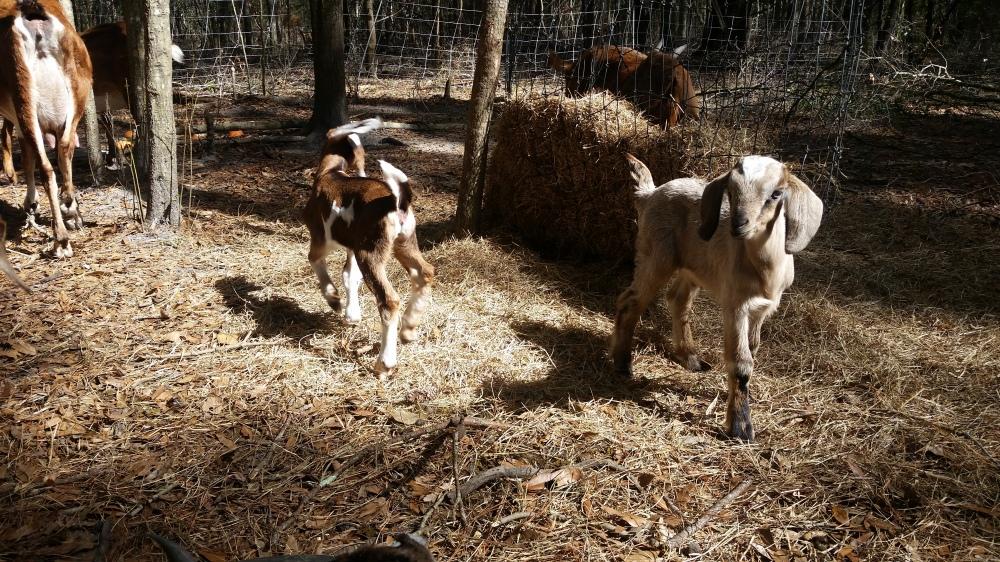 goats romping