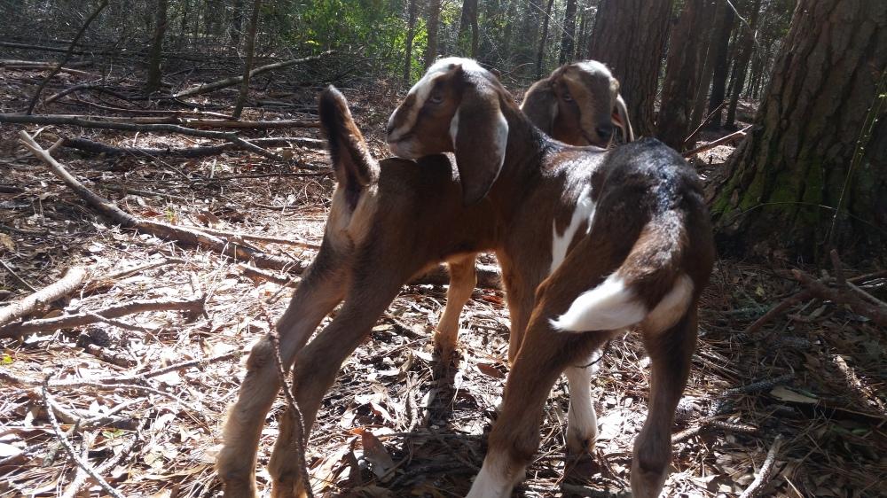 goat twins