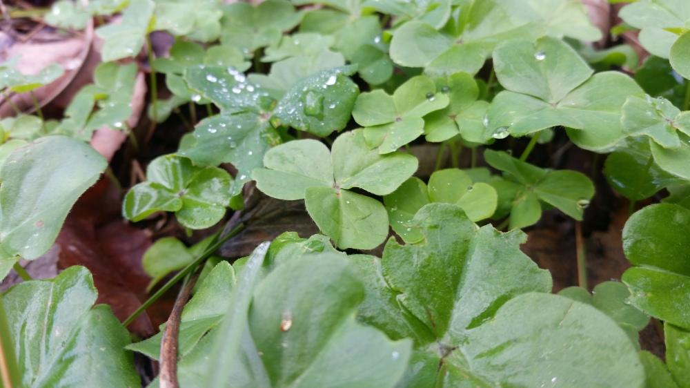 eating weeds sorrel