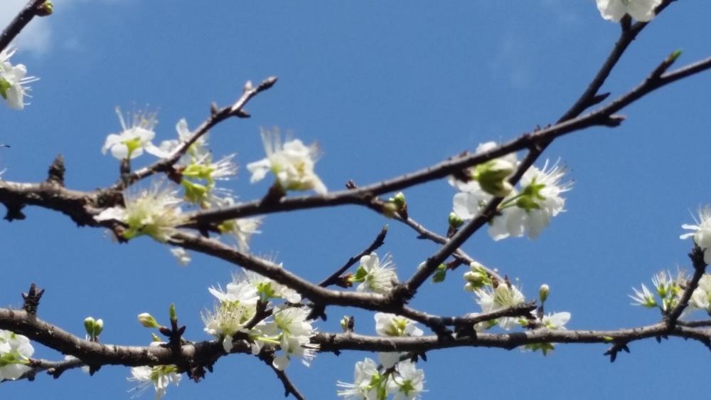 chicksaw plum blossoms