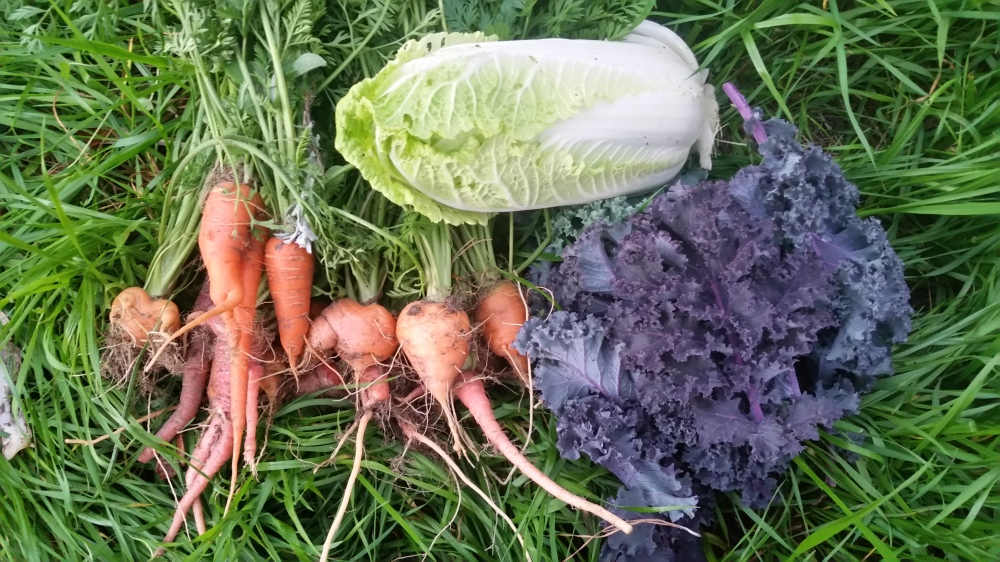 carrots, red kale, and napa cabbage