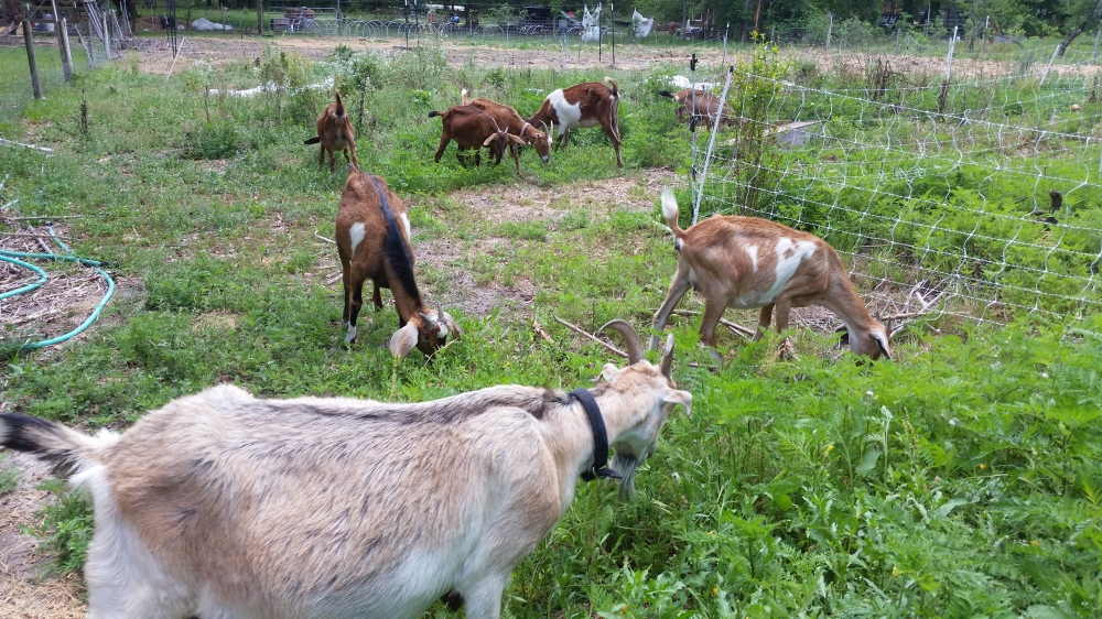 Goats for weed control