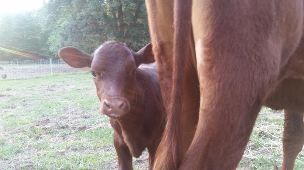 American Milking Devons