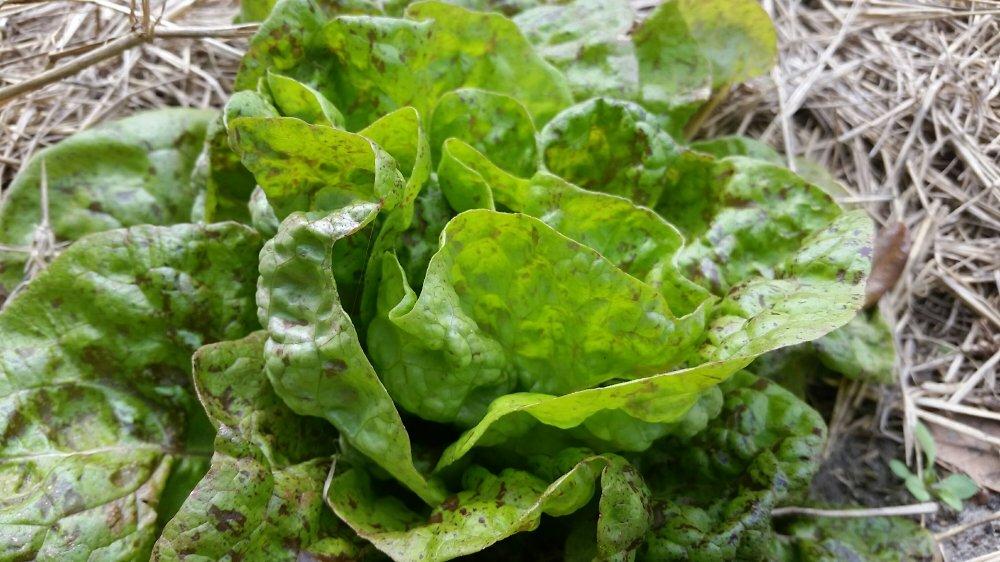 Sanguine ameliore lettuce