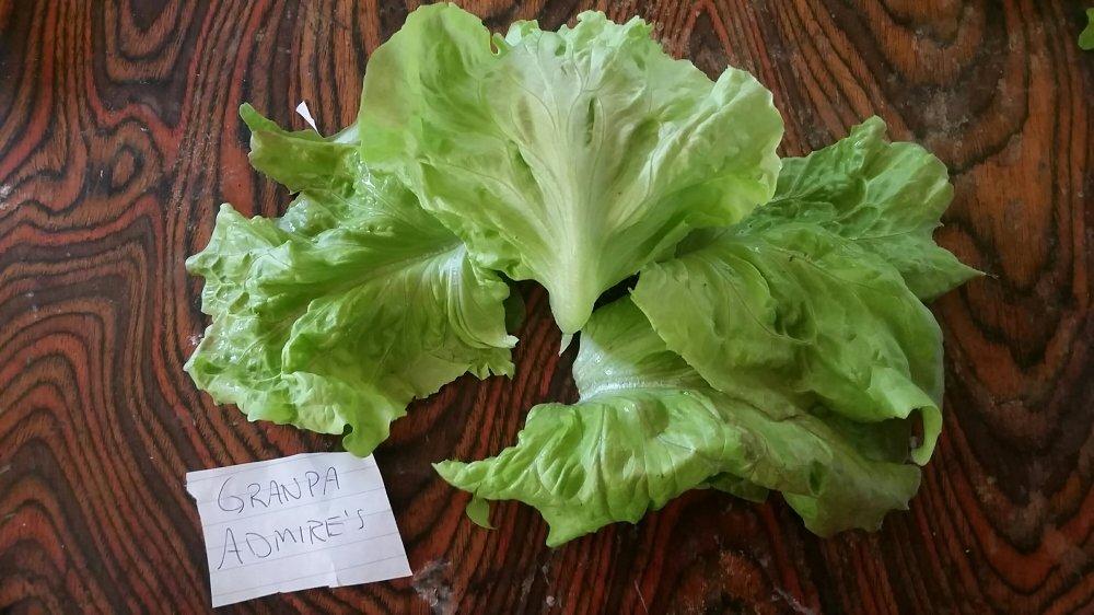 Granpa admire lettuce