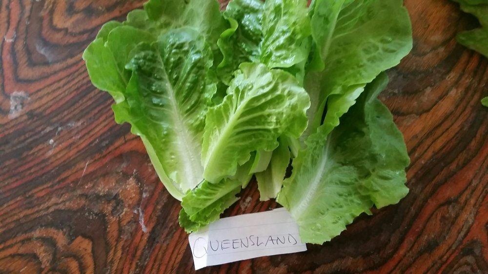 Queensland lettuce