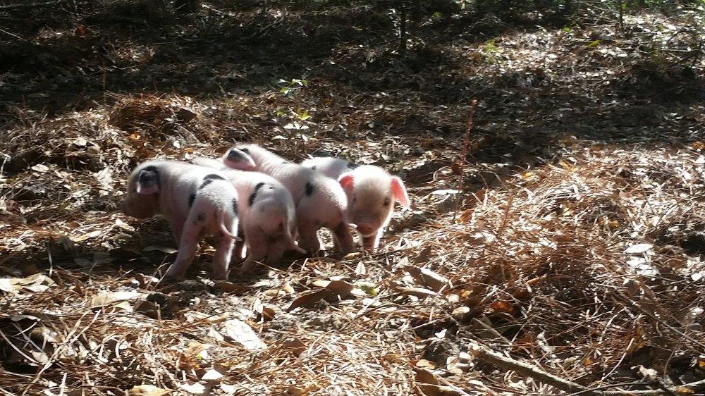 Piglets 3