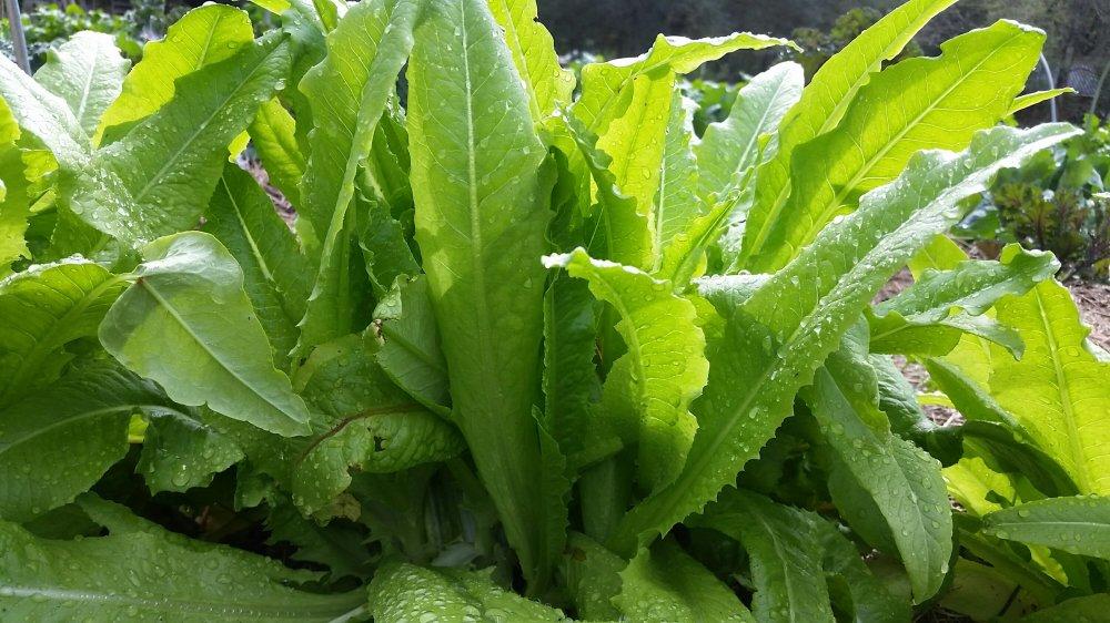 Sword Leaf Lettuce
