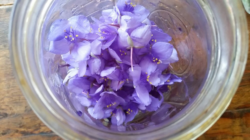 Spiderwort Soda 2