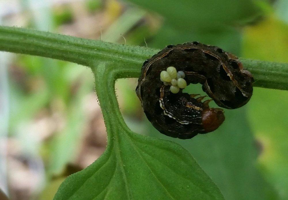 Army worm
