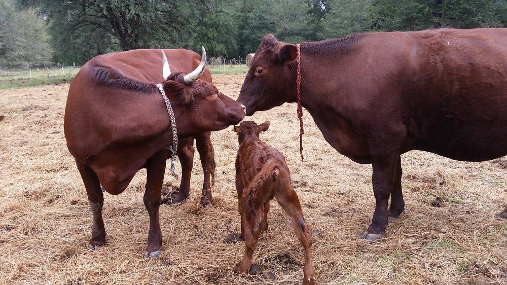 Mama cows