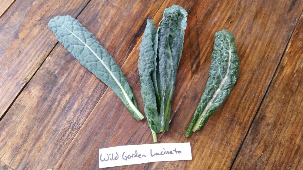 Wild Garden Lacinato Kale