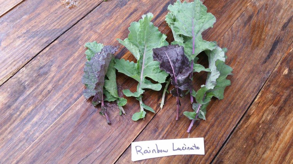 Rainbow Lacinato kale