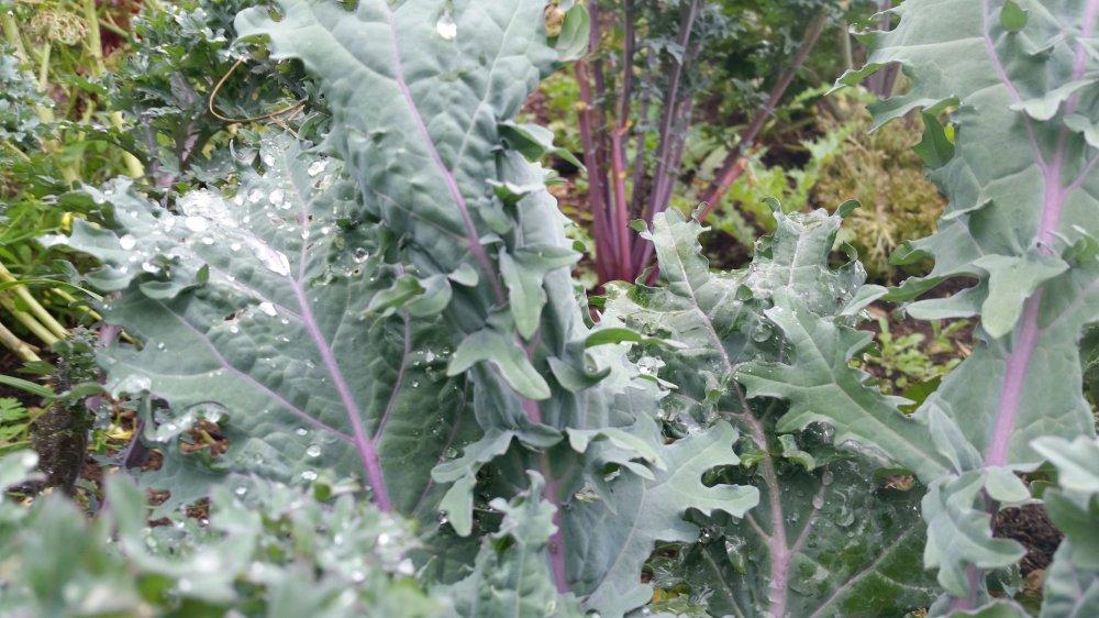 Kale garden 2