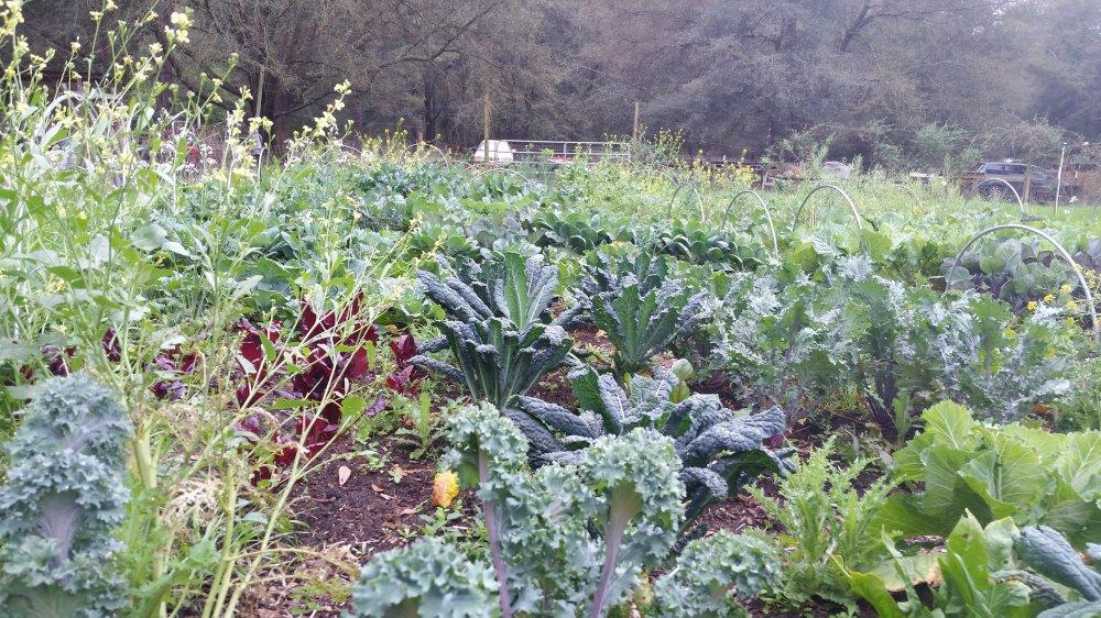 Kale garden 1