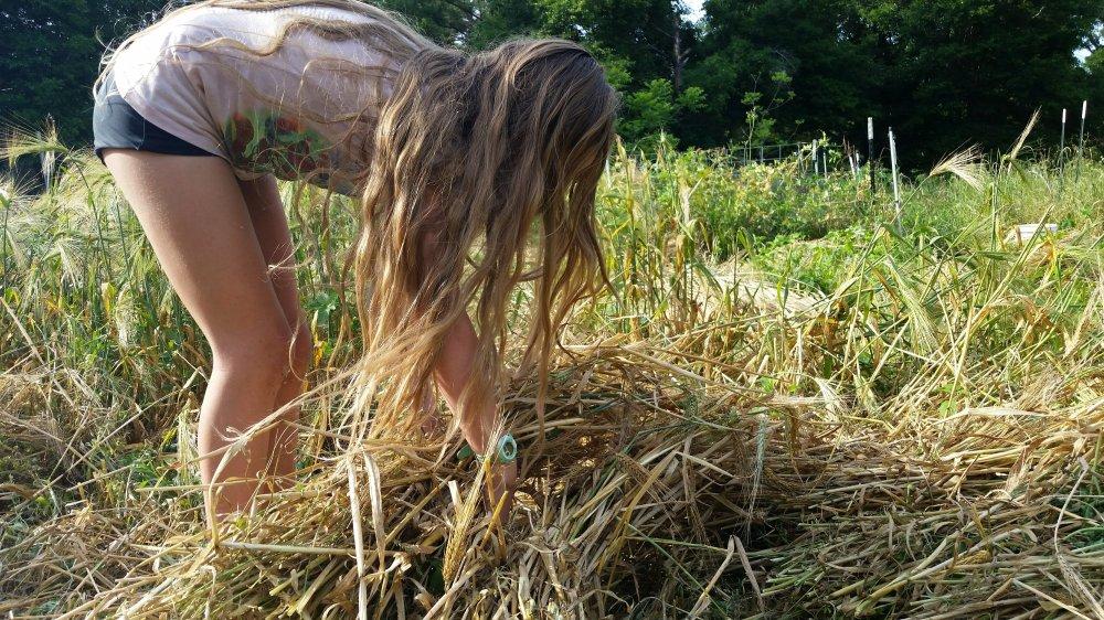Barley harvest 2
