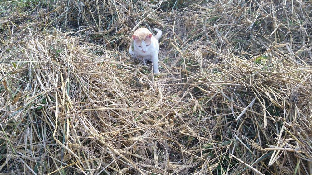Barley harvest 5