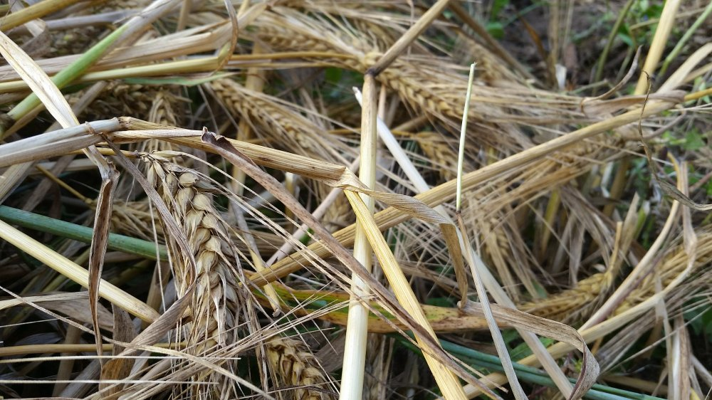 Barley harvest 4