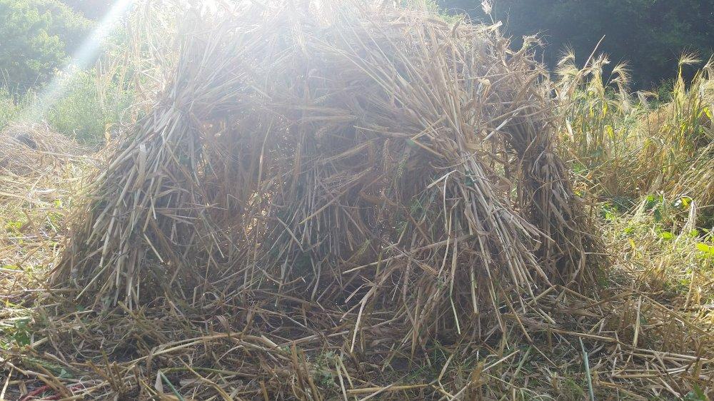 Barley harvest 6