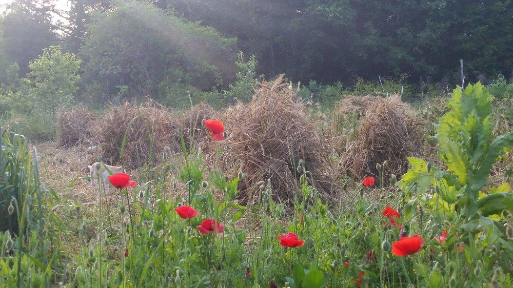 Barley harvest 1