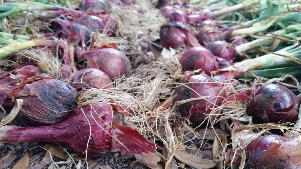 Onion harvest 1