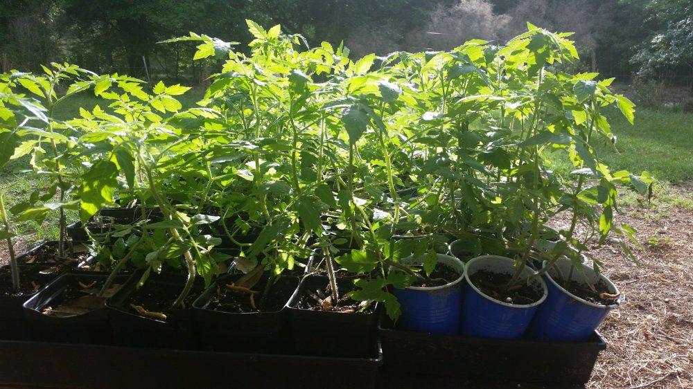Tomato starts