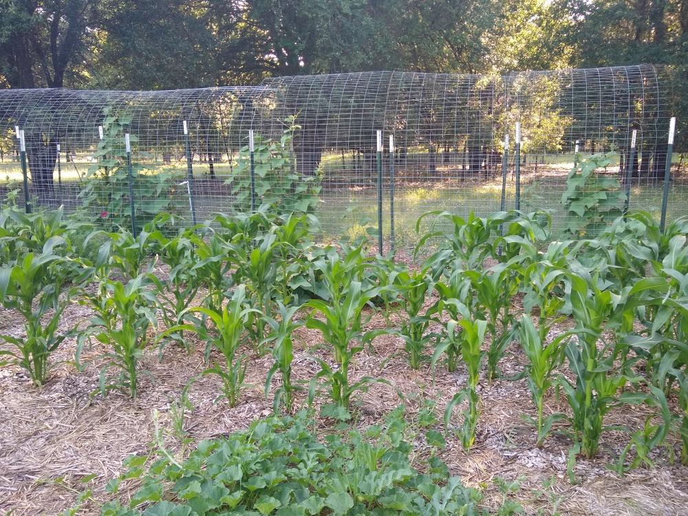 Chires baby corn