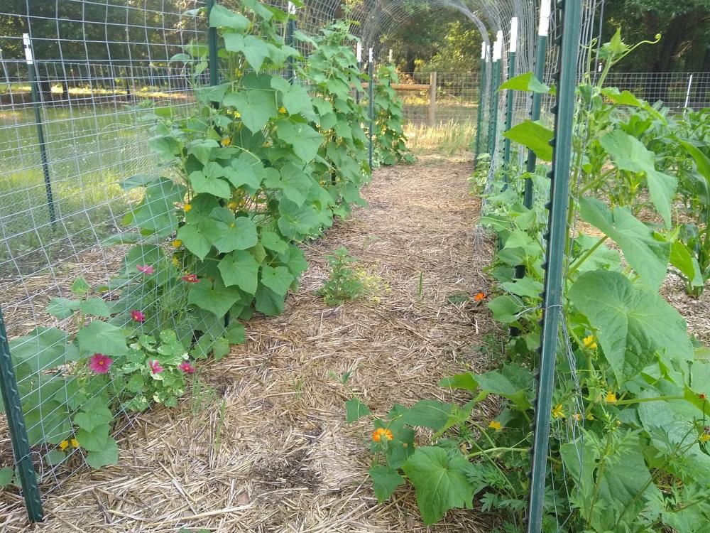 Cucumber trellises 16