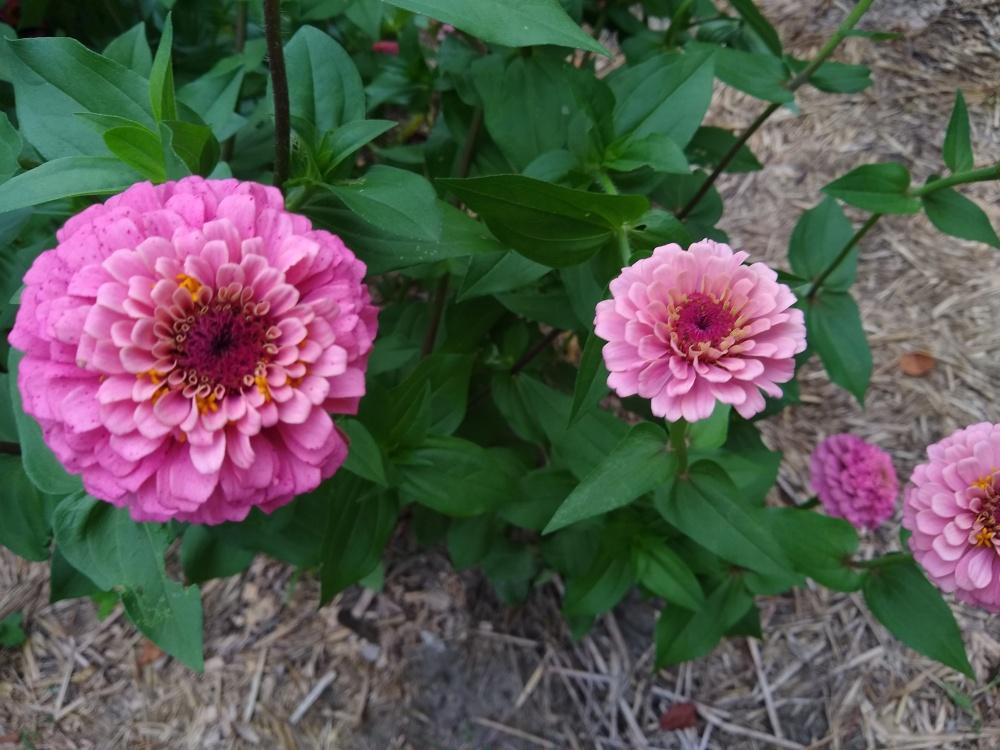 Oklahoma pink zinnias