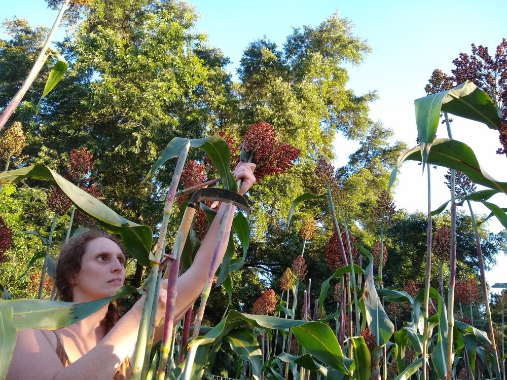 Sorghum harvest 2