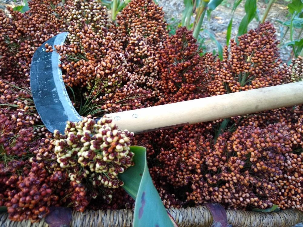 Sorghum harvest 1