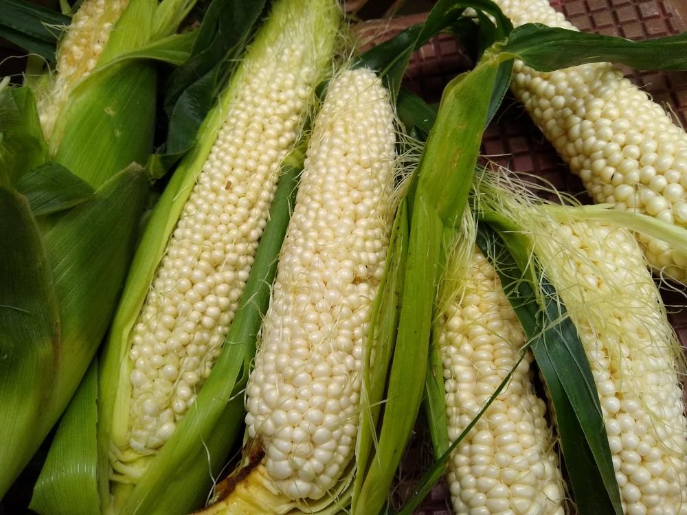 Country gentlemen corn